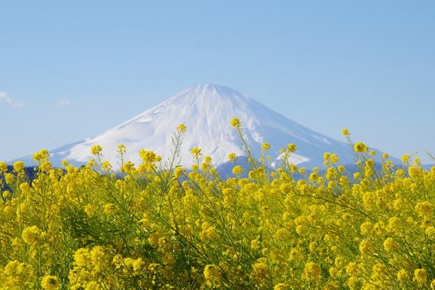 Photos: 富士山と菜の花12