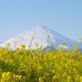 Photos: 富士山と菜の花13