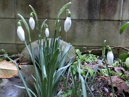 間もなく咲きそうなスノードロップ