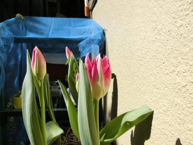 今にも咲きそうなチューリップ