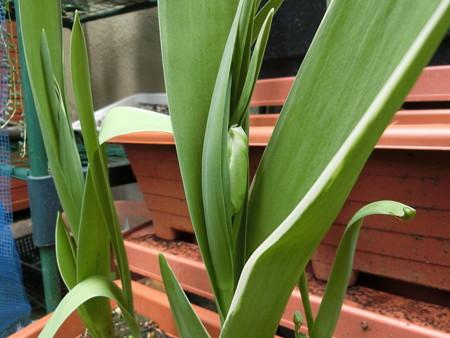 次々に花茎が出てきたチューリップ