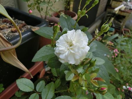 白いミニバラ開花!