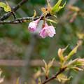 舘山寺桜?