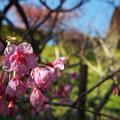 舘山寺桜(2)