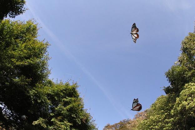 アサギマダラ飛来