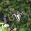 Photos: ナミアゲハ飛翔