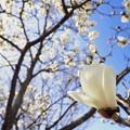 写真: 木蓮の輝き