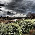 写真: ユキヤナギの咲く頃