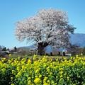 写真: 一本桜