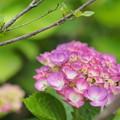 Photos: ピンクのアジサイ2