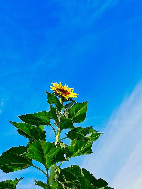 青空に向かって咲く