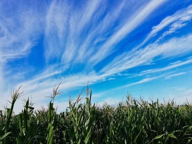 トウモロコシ畑と秋の空