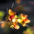 シモツケソウの芽吹き