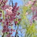 枝垂れて咲く