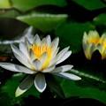 Photos: 真っ白な睡蓮