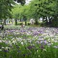 Photos: 菖蒲園の賑わい