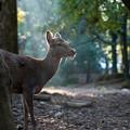 Photos: 奈良公園の鹿