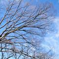 枯れ木と青空と巻雲