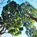 ヤチダモの木