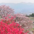 勝沼甚六桜