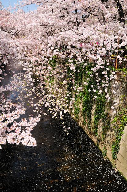満開の桜と水面の花びら