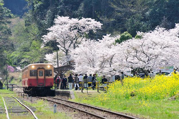 桜と菜の花とキハ