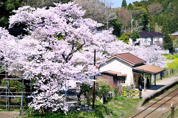 小さな駅の大きな桜の木