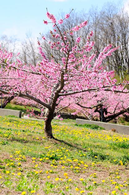 桃の花とたんぽぽ
