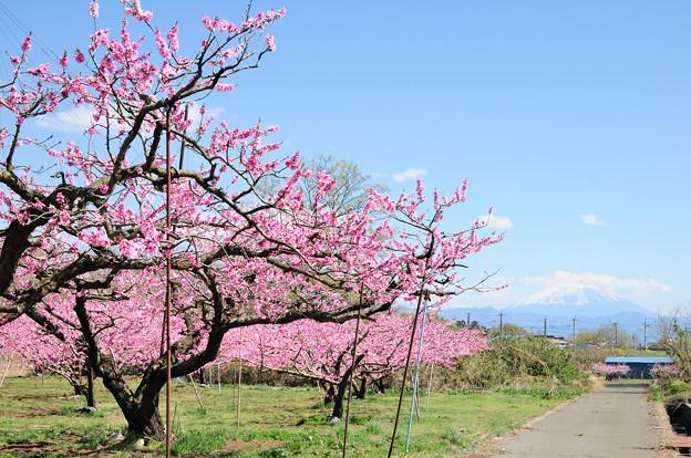 ピンク色に染まる桃畑と富士山