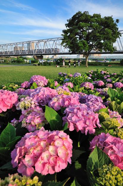 紫陽花と京成電車