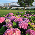 写真: 紫陽花と京成電車