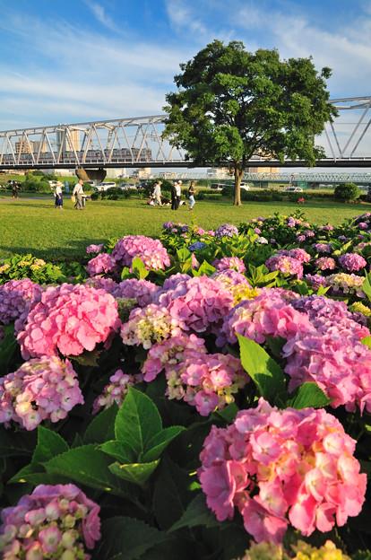 Photos: 紫陽花と京成電車