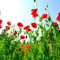 写真: 赤いポピーの花畑