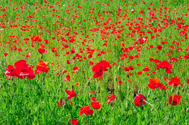 赤いポピーの花畑