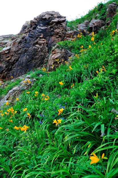 写真: 崖に咲く