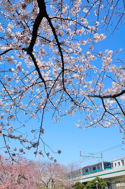 桜とE233系電車