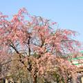 枝垂桜と東京メトロ千代田線05系電車