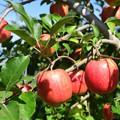 Photos: りんご畑