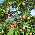 Photos: リンゴ畑