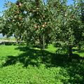 Photos: リンゴの木