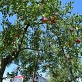 Photos: リンゴ畑を行く3500系電車