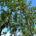 Photos: 青空とリンゴの木とローカル電車