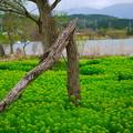 写真: 琵琶湖湖岸のノウルシ群生群