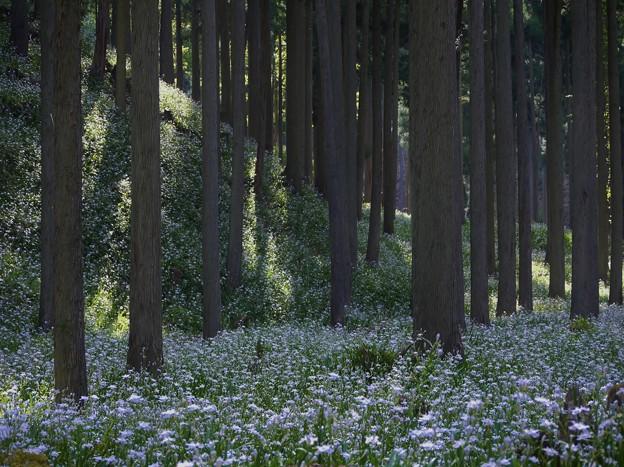 シャガの森