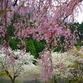 Photos: 降り注ぐピンク色