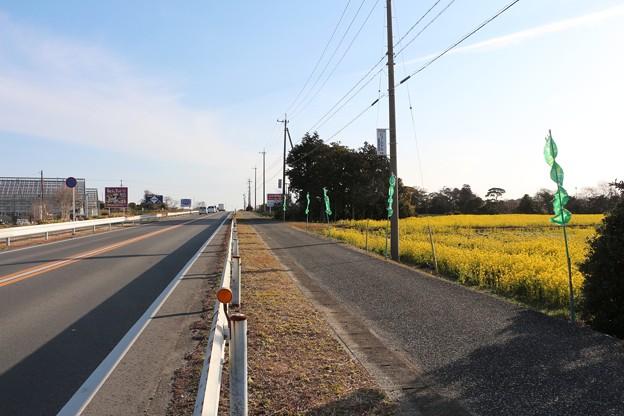 写真: 国道259号線沿い加治菜の花
