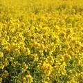 写真: 一面に菜の花畑