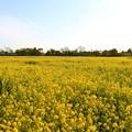 写真: 広い菜の花畑