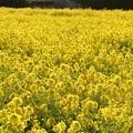 写真: 一面の黄色いジュータン
