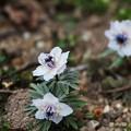写真: 珍しい八重咲きセツブンソウ